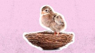 A baby bird nestling, waiting in nest.